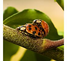Pollen covered Ladybugs Photographic Print