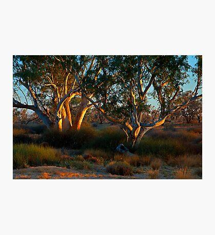 River Red Gums - Cooper Creek, SA Photographic Print