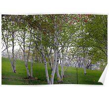Beautiful Birch Trees Poster