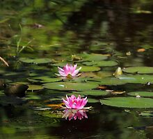 Water-lilies  on a forest lake. by Zosimus