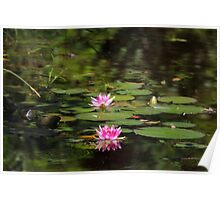 Water-lilies  on a forest lake. Poster