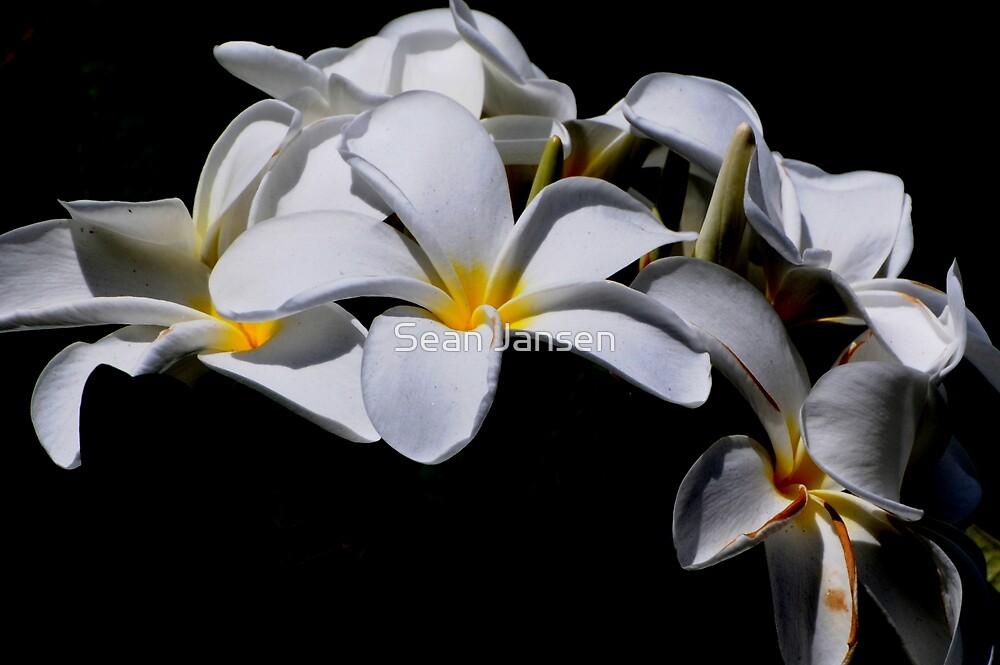 White Delight  by Sean Jansen