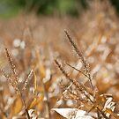 Corn Bokeh by Aaron Radford