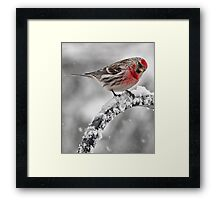 Red Poll -- Cold, But Hungry Framed Print