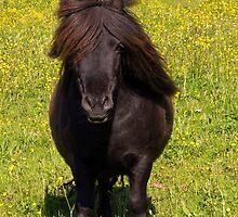 Pony by Nordlys