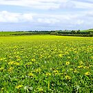 Field of Dandelions  by DPalmer