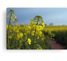 Oil seed rape flowers Canvas Print