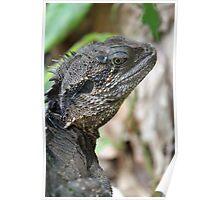 Water dragon - Alma Park Zoo, Brisbane Poster