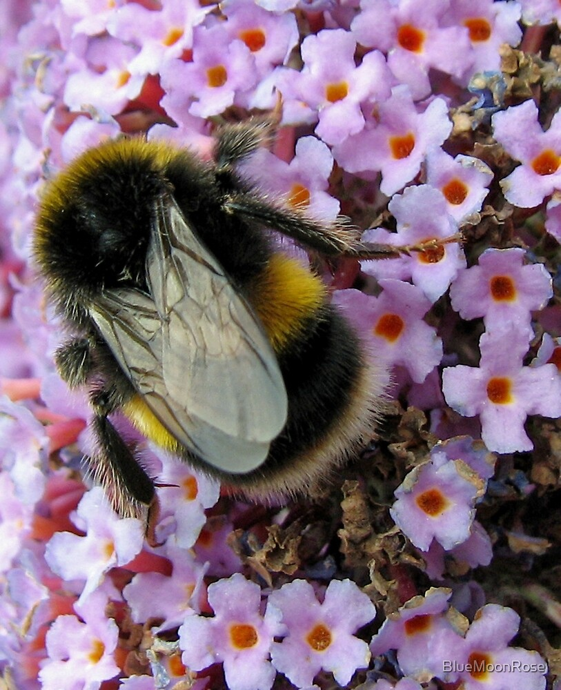 Up Close and Personal - Bumble Bee at Work  by BlueMoonRose