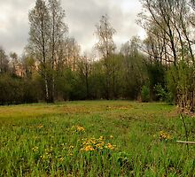 Birches,reeds and kingcups HDR by steppeland