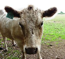 Murray Grey Cow - Camera conscious & Lovely Eyes     by EdsMum