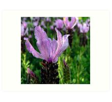 Lavender is Lovely Art Print