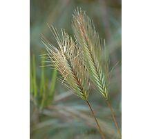 Coarse  Feathers of Grass Photographic Print