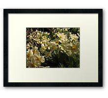 Primrose blooms Framed Print