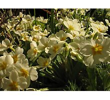 Primrose blooms Photographic Print