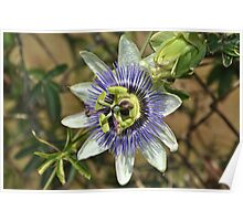 """"""" The Passion Flower """" Poster"""