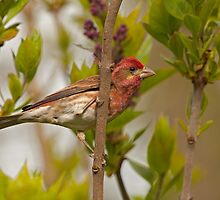 PURPLE FINCH ( male) by Sandy Stewart