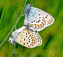 Maring Idas Blue, plebejus idas, male by pogomcl