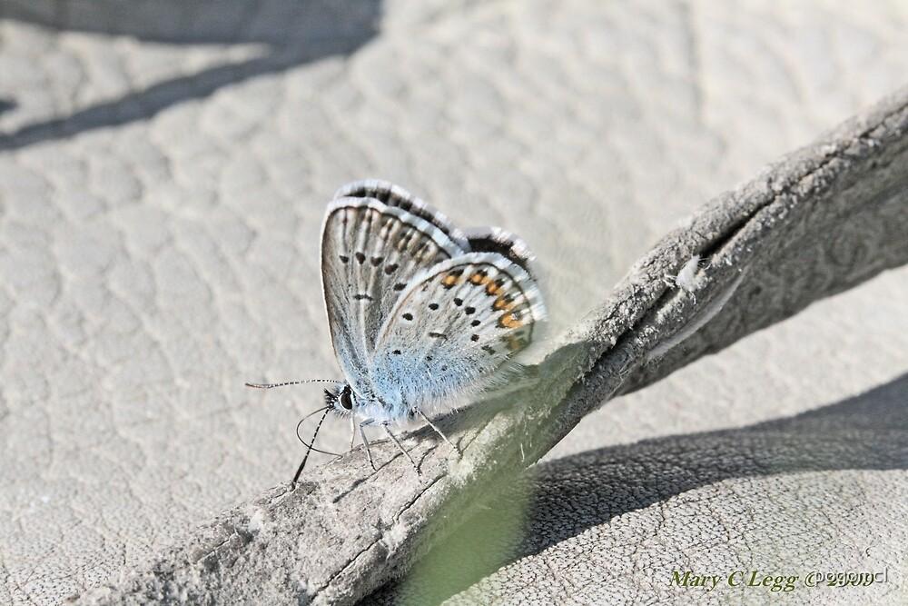Reverdin's Blue, Plebeius argyrognomon by pogomcl