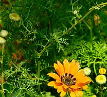 Spring annual of the Daisy family from Namaqualand by buttonpresser