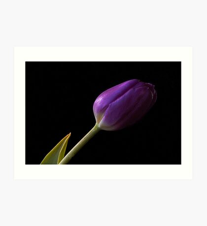 Tulip in purple Art Print