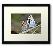 Mating Silver-studded  Blues, Plebejus argus Framed Print