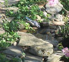 Warm Spring Morning - Blue Jay Sips Water  by JeffeeArt4u