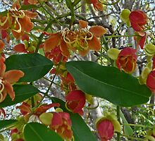 Cassia Moschata by Margaret  Hyde