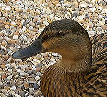 Quack! by ColinBoylett