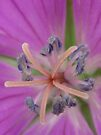 geraniums star2 by millymuso