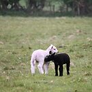 Black and white lambs by Tony  Glover
