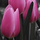 Pink Tulips  by Daisy-May