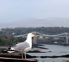 Seagull at Menai by Patricia Wuelfing