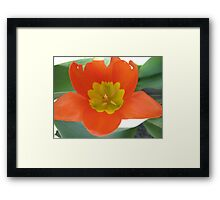 Orange and Lemon-aided Tulip Framed Print