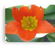 Orange and Lemon-aided Tulip Canvas Print