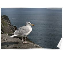 Seagull on Shay Head, Dingle Poster