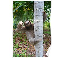 Brown-throated sloth climbing on a tree Poster