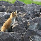 Red Fox Kit by Stephen Stephen