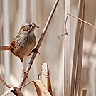 Swamp Sparrow - Ottawa, Ontario by Michael Cummings