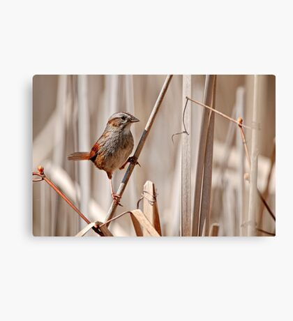 Swamp Sparrow - Ottawa, Ontario Canvas Print