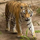 Tiger 2 by Jory Authement