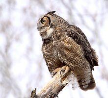 Dangerous Neighbourhood / Great Horned owl by Gary Fairhead
