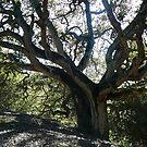 Oakland Oak by rferrisx