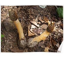 Fungus at Mt.Coot-tha Poster