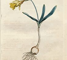 The Botanical magazine, or, Flower garden displayed by William Curtis V1 V2 1787 1789 0017 Narcissus Minor, Least Daffodil by wetdryvac