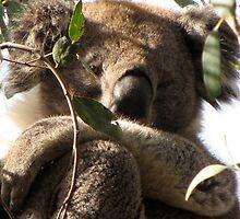 Awakened Werribee Gorge Koala by DianneLac