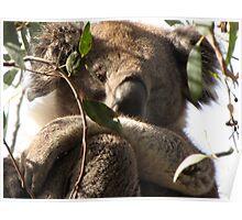 Awakened Werribee Gorge Koala Poster