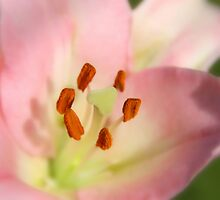 Pink Lily by Nickie