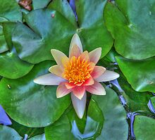 Water Lily 2 by ECH52