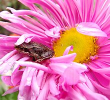 Small frog on aster by serge58